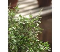 Tulsi (Ocimum sanctum)