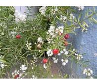 Shatavari (Asparagus racemosus)